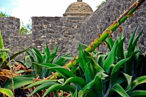 Century Plant at the Presidio by aggie00