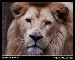 White Lion Close Up by ischarm