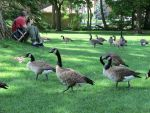 A Photographer and Geese by Kitteh-Pawz