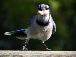 bluejay grabs peanut by Lou-in-Canada
