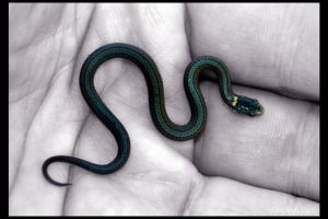 Baby Redbelly Snake 1 by UffdaGreg