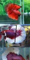 Halfmoon Betta Identification by DarkMoon17