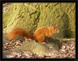 Red squirrel - 3 by J-Y-M