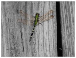 Dragonfly by therickhoward
