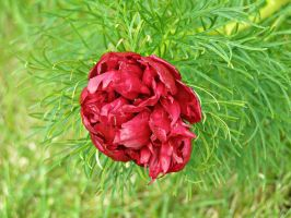 Red Peony by The--Enchantress