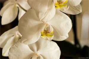 Orchid by Luks85