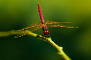 Red Dragonfly by RomanPhotog