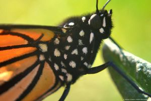 Monarch Butterfly on Leaf by Creative-Addict
