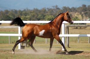 GE Arabian pinto canter into trot side by Chunga-Stock