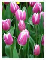 Tulips by SurfGuy3