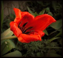 Last Day of a Tulip by JocelyneR