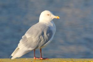 Seagull by spartout
