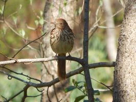 Brown Thrasher in tree by watercolos