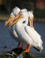 White Pelicans by olearysfunphotos