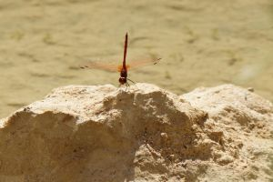 dragonfly on rock by picture-melanie
