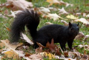 black gray squirre by Aries18o18