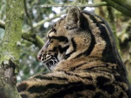 2014 - Clouded leopard 3 by Lena-Panthera