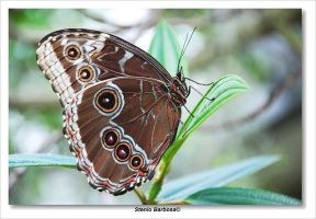 Blue morpho by ScoobyUSA