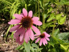 Nature_flower_echinacea 01 by Aimelle-Stock