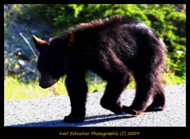 Black Bear by KSPhotographic