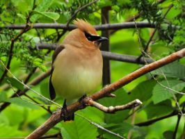 cedar waxwing by Glacierman54