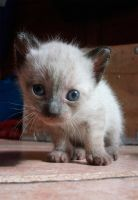 His name is Pompom, the siamese kitten by aeli9