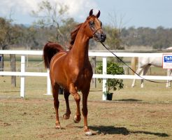 GE Arab chestnut stally trot front by Chunga-Stock