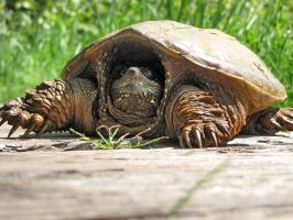 an other SNAPPER by Nipntuck3