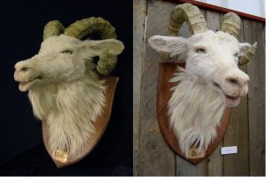 Goat head by Ulltotten