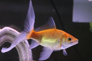 Gold Fish by drewtoby