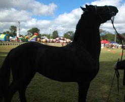 friesian stallion standing head high by tbg-stock-images