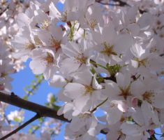 Cherry blossoms in DC by jezebel144