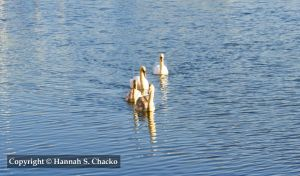 Swans by HSChacko