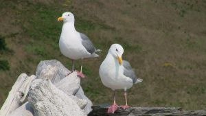 A Pair of Seagulls by MogieG123