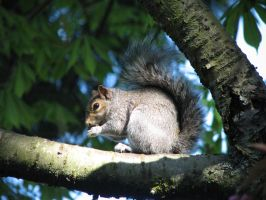 squirrel in a tree by Finnish-Viking