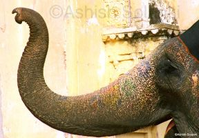 Indian elephant by aksolanki