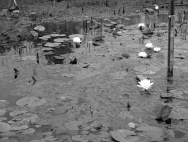 Lily Pond by L2TheRizzle