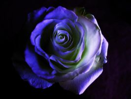 Black and Blue Beauty by kimstock