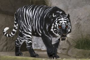 black tiger by chrischanaud