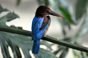 White Throated Kingfisher.1. by HecklingHyena