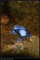 Blue poison arrow frog by Dickie67
