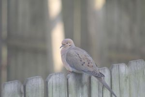 Mourning Dove by demboys18