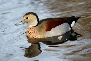 Male Ring Teal by AJKent