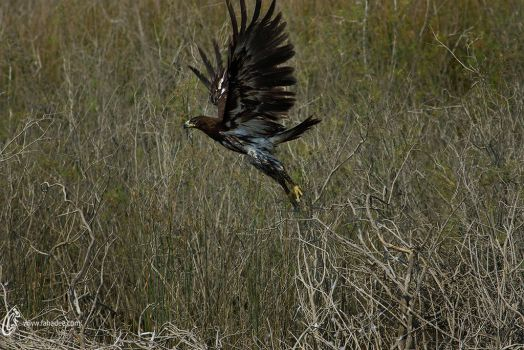 Greater spotted eagle by fahadee
