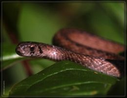 Brown Snake 40D0029124 by Cristian-M