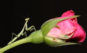 praying mantis and a rose by firxxx