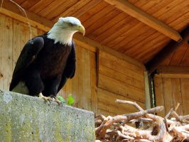 Bald Eagle by arkytaka