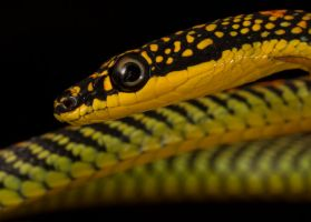 Flying Paradise tree snake close up by AngiWallace