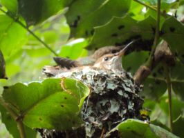 Baby Hummingbird by puddlecat1