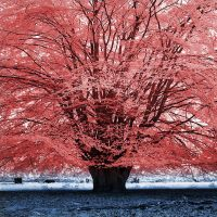 Red Tree - infrared by MichiLauke